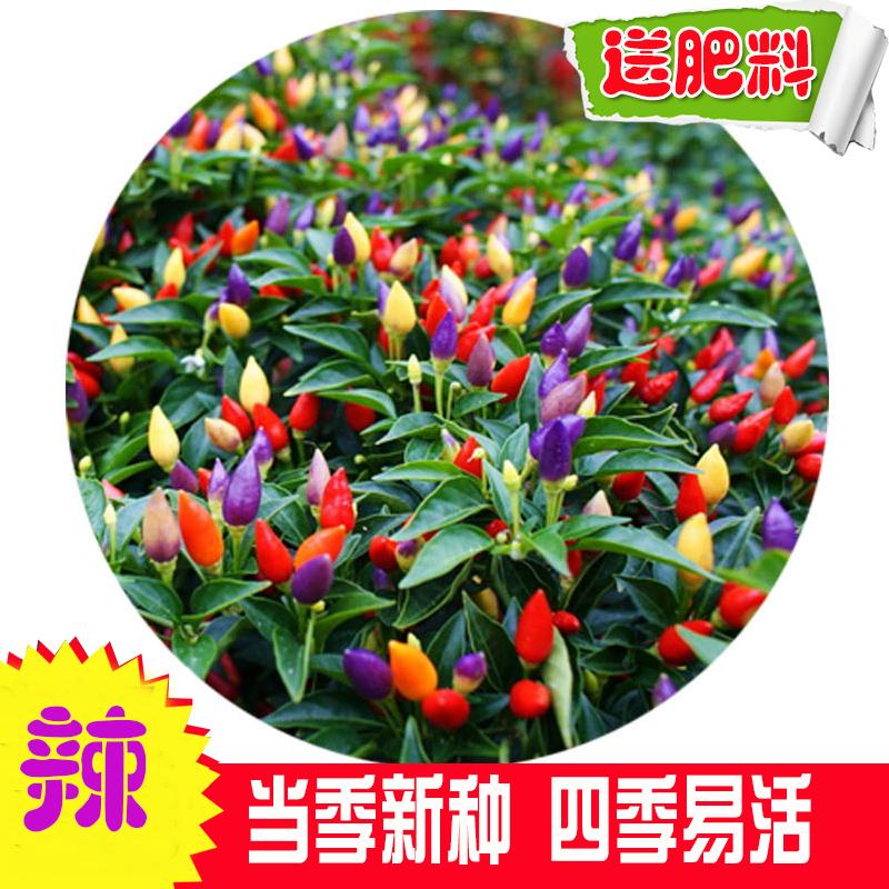 七彩椒食用超辣五彩椒蔬菜种子朝天椒阳台盆栽室内四季高产辣椒