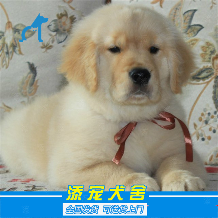 Golden retriever, golden retriever, domestic purebred large dog