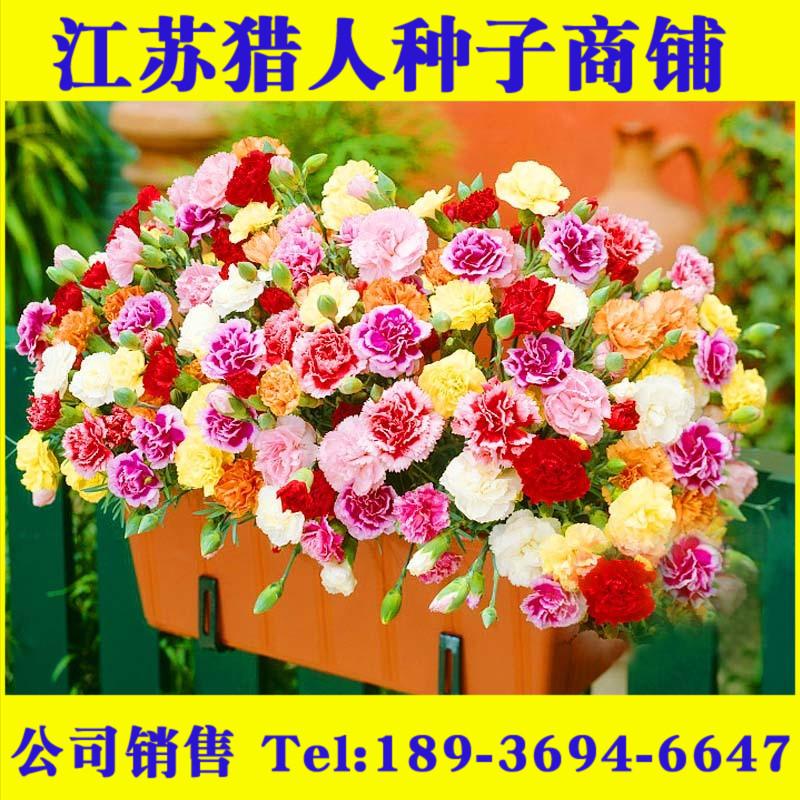 四季易种活的室内阳台盆栽绿植庭院花卉石竹康乃馨花种子套餐包邮
