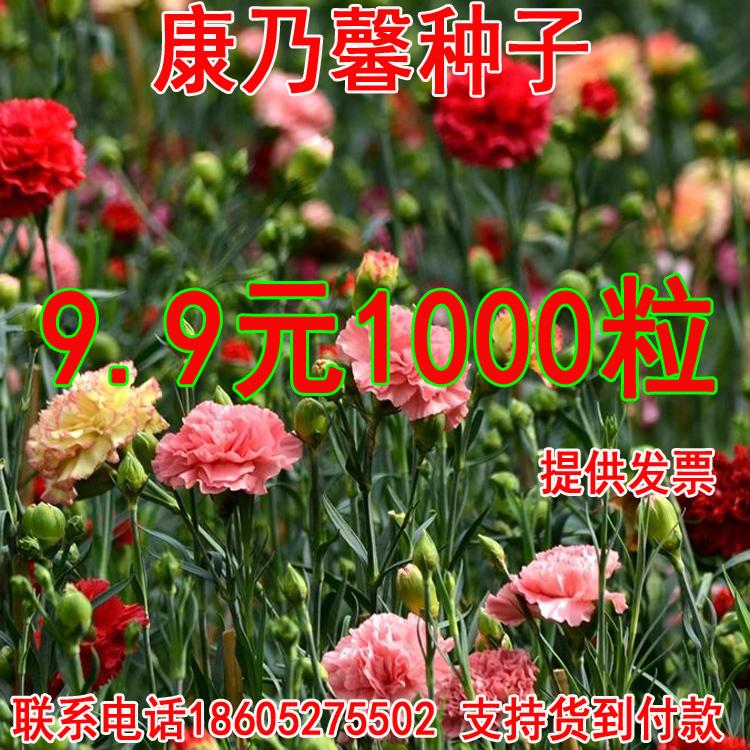 溢芳种业出售香草种康乃馨种子阳台庭院盆栽花卉四季可播