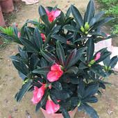 包邮四季杜鹃红山茶花嫁接盆栽带花苞室内庭院名贵绿植红山茶