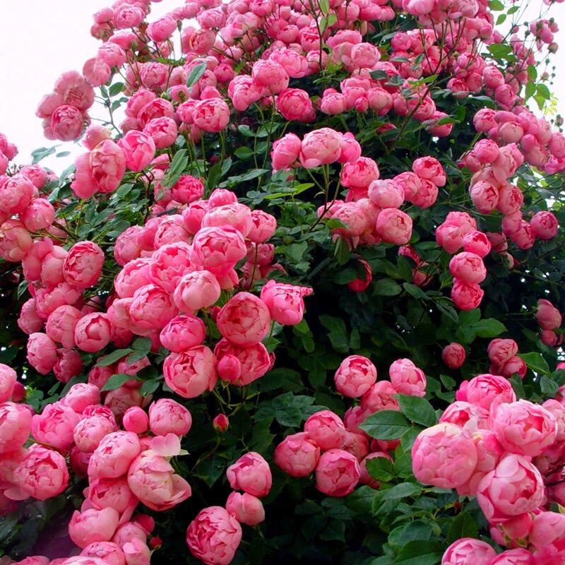 四季开花蔷薇花苗爬藤植物庭院爬墙攀援玫瑰藤本月季特大花卉盆栽