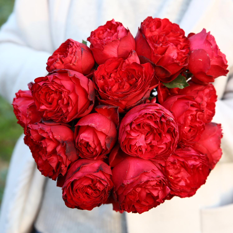 天狼 茶花女2.5升盆栽多季灌木庭院露台观赏植物玫瑰花卉盆栽