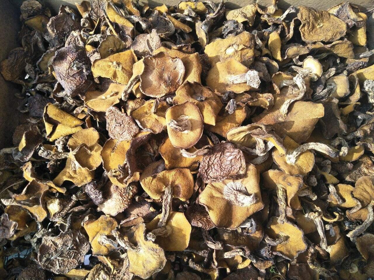 东北特产野生松蘑菇松菇粘蛾子松蛾粘团子烘干松蘑干货一斤包邮