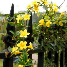 屋内と屋外の鉢植えの苗フランスの香水のジャスミン香りのフラワーガーデンクライミング四季丈夫顕花植物送料無料