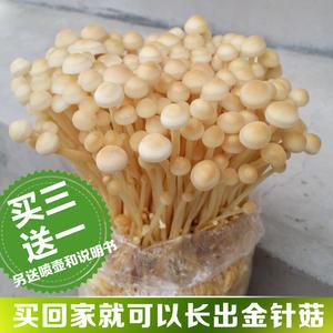 领1元券购买蘑菇女王金针菇蘑菇种子菌种