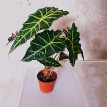 欧美风非洲面俱大仙女海芋alocasiapoolly黑叶进口网红ins风植物