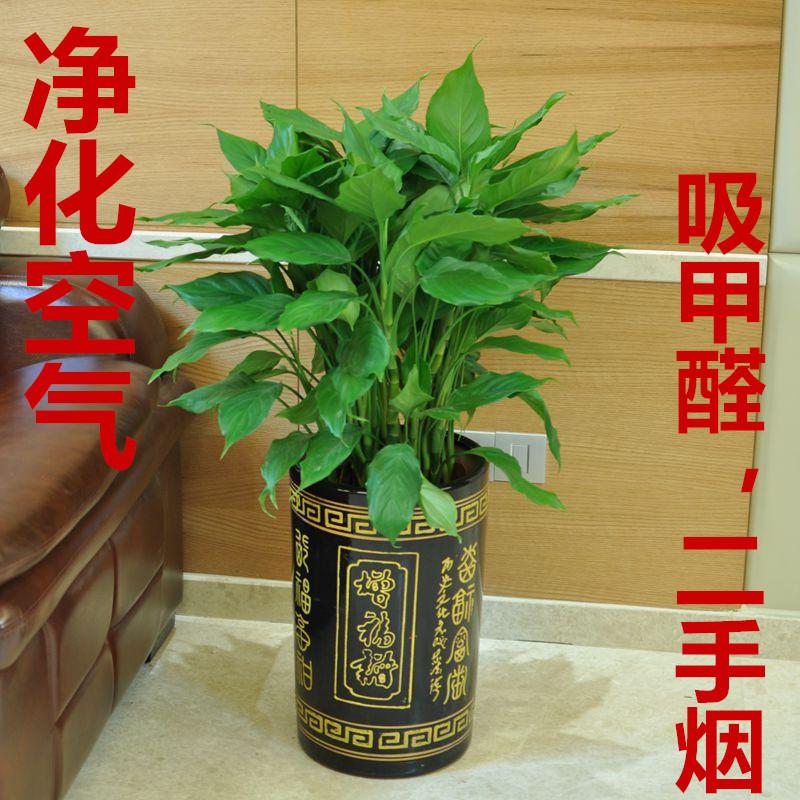 盆栽万年青室内植物净化空气客厅家庭绿植吸甲醛四季常青大型花卉