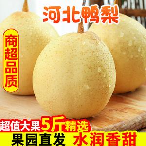 正宗河北鸭梨大果新鲜10斤水晶梨子水果当季整箱包邮5斤赵县现摘