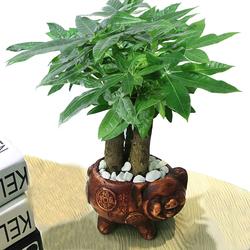 发财树盆栽植物陶瓷盆栽室内花卉土养盆景客厅绿植发财金摇钱树花