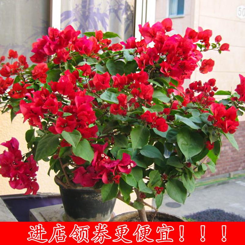 热销三角梅室内阳台盆栽苗爬藤攀援花卉植物重瓣花苗四季开花多色