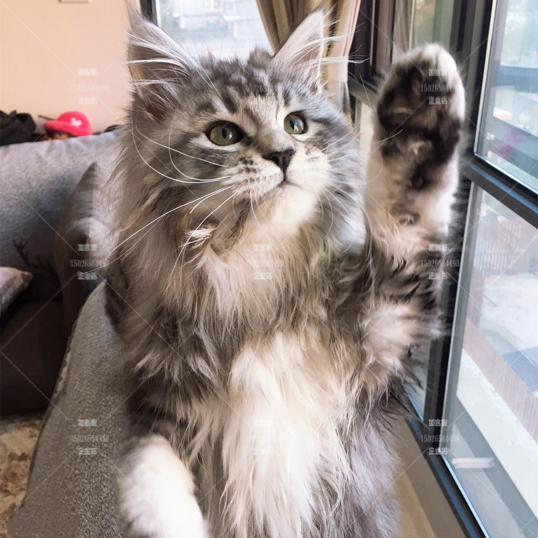杭州缅因猫活体 幼猫纯种库恩巨型猫家养长毛猫挪威森林猫宠物猫图片