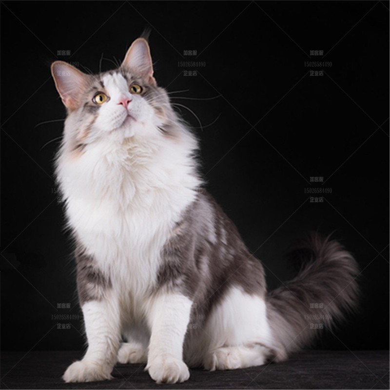 Guangzhou cat house can choose live kittens, pet cats, large Maine Coon cats, Russian origin and health