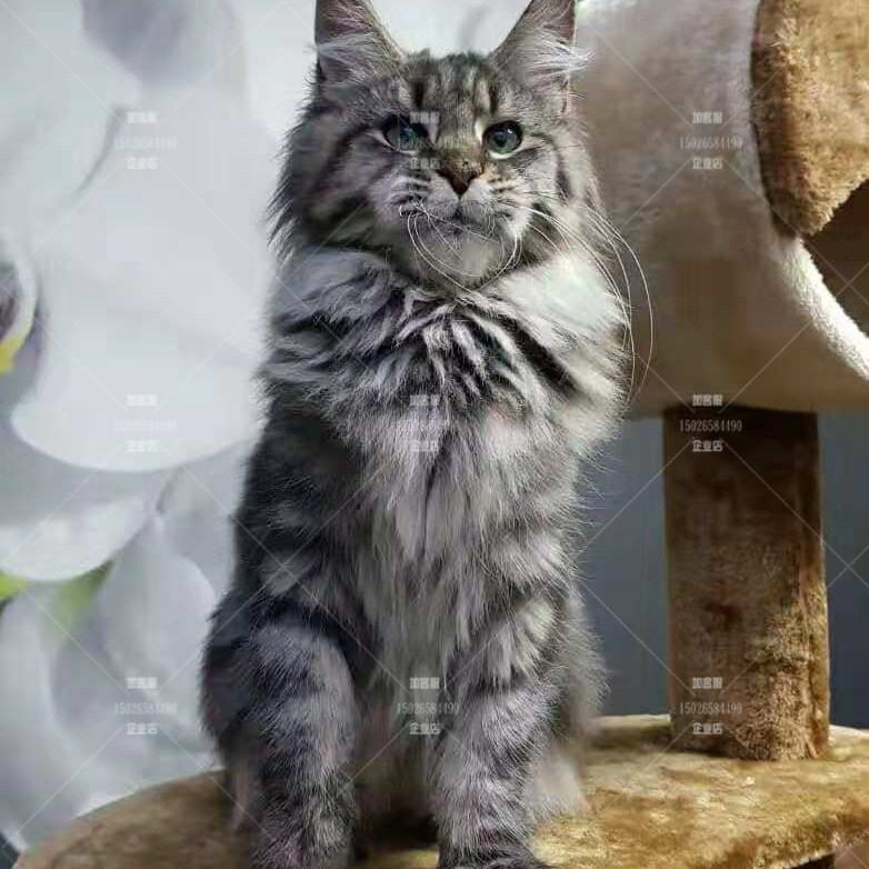 Guangzhou store Maine cat live cub Silver Tiger spot Norwegian forest Maine Kuhn cat certificate can be selected at home