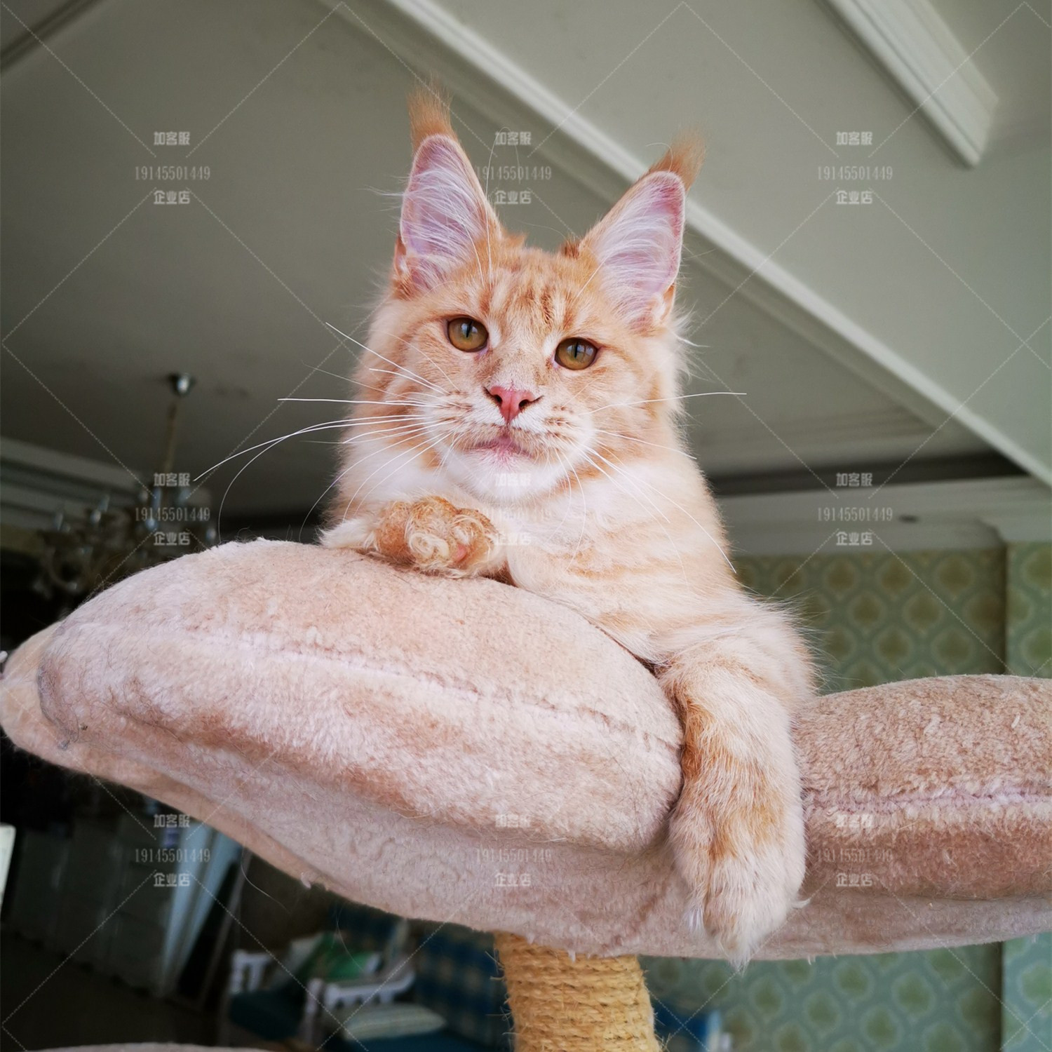 Purebred red tiger spotted Maine cat live kitten super giant domestic pet cat lion coon