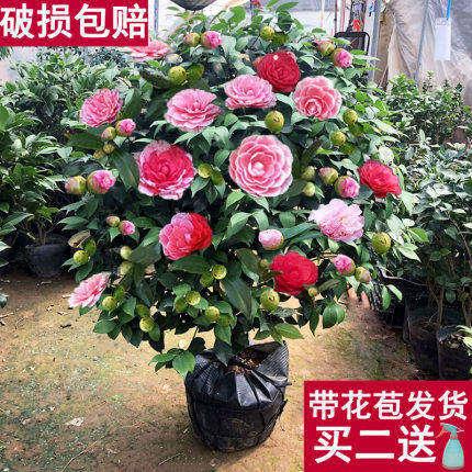 香妃山茶花树苗盆栽带花苞花卉开花四季植物室内不断耐寒浓香