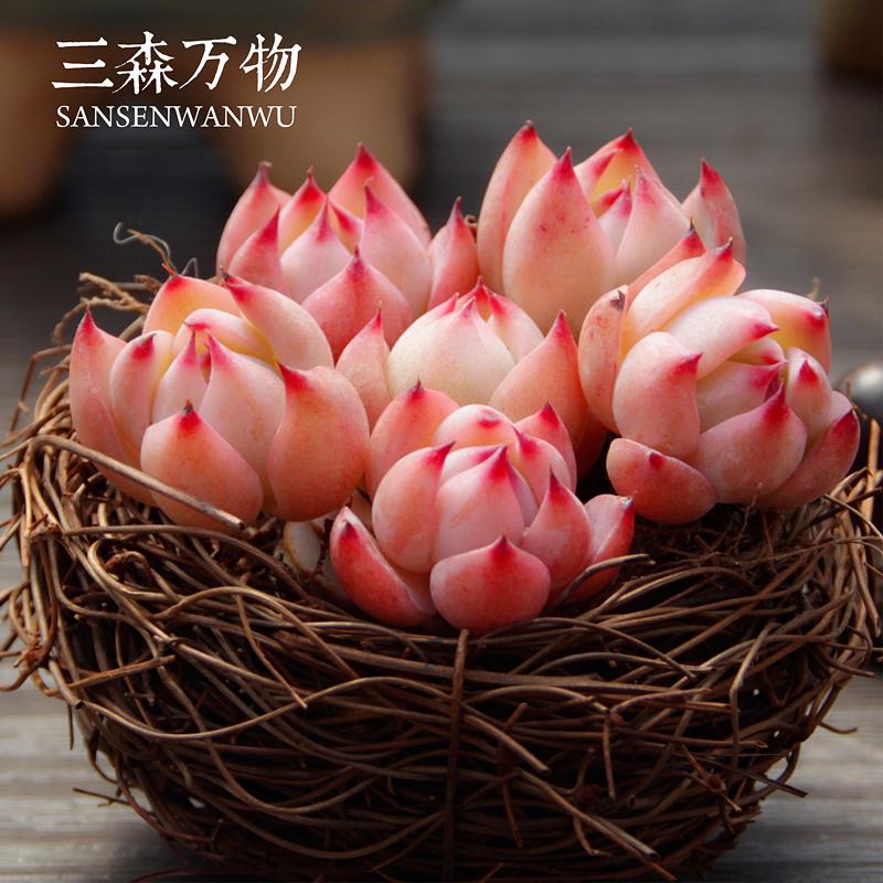 正版【水蜜桃】三森万物大棚直供多肉植物 绿植盆栽花卉多肉肉