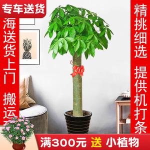 发财树盆栽 开业乔迁植物花卉客厅办公室内大型绿植 上海送货上门