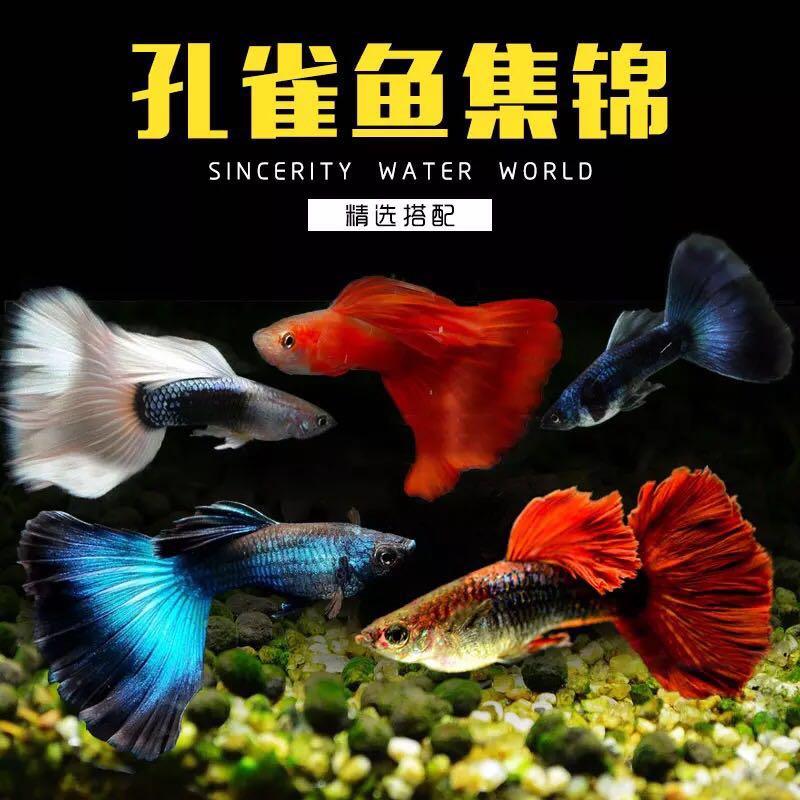 孔雀鱼怀孕母临产活体凤尾小鱼苗宠物纯种小型胎生热带观赏鱼包邮