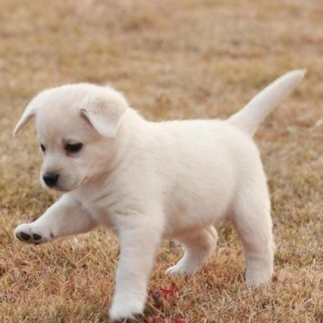 中华田园犬纯种土狗幼犬小狗宠物金毛拉布拉多串串狗狗活体小白狗图片