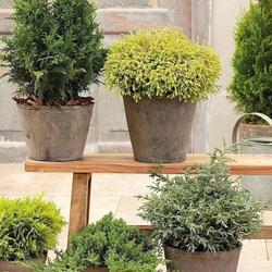 花无缺的花园  柏树彩叶皮球柏蓝湖柏常绿耐寒灌木庭院阳台盆栽苗