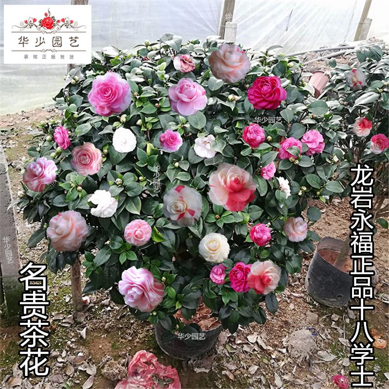 十八学士茶花盆栽名贵带花苞稀有粉白色彩底永福建正品18树苗龙岩
