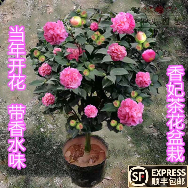 龙岩烈香水茶花带浓香味型福建的四季大小树苗包邮浓香型香妃盆栽