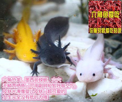 六角恐龙红虫饲料血虫带盖塑料鱼缸乌龟盒六六饲养箱武汉安娜水族