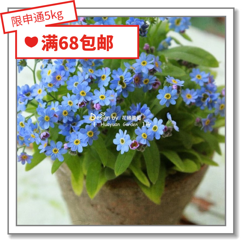 Sauerkraut imported flower seeds * Dont forget me * lover / accent / Miro / Norwegian forest mixed color 10 seeds