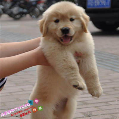 Sale of golden retriever purebred puppies, domestic roving guide dogs, golden pet dogs, race level long hair living y