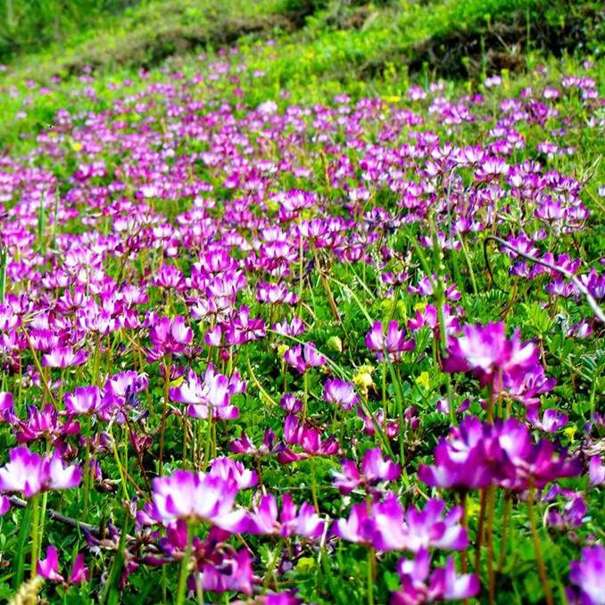 紫云英种子红花草种子养蜂蜜源高产绿肥牧草种子食用野菜种籽包邮