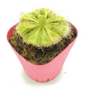 茅膏菜毛毡苔锦地罗勺叶长柱孔雀多规格食虫植物多肉珍奇绿植包邮