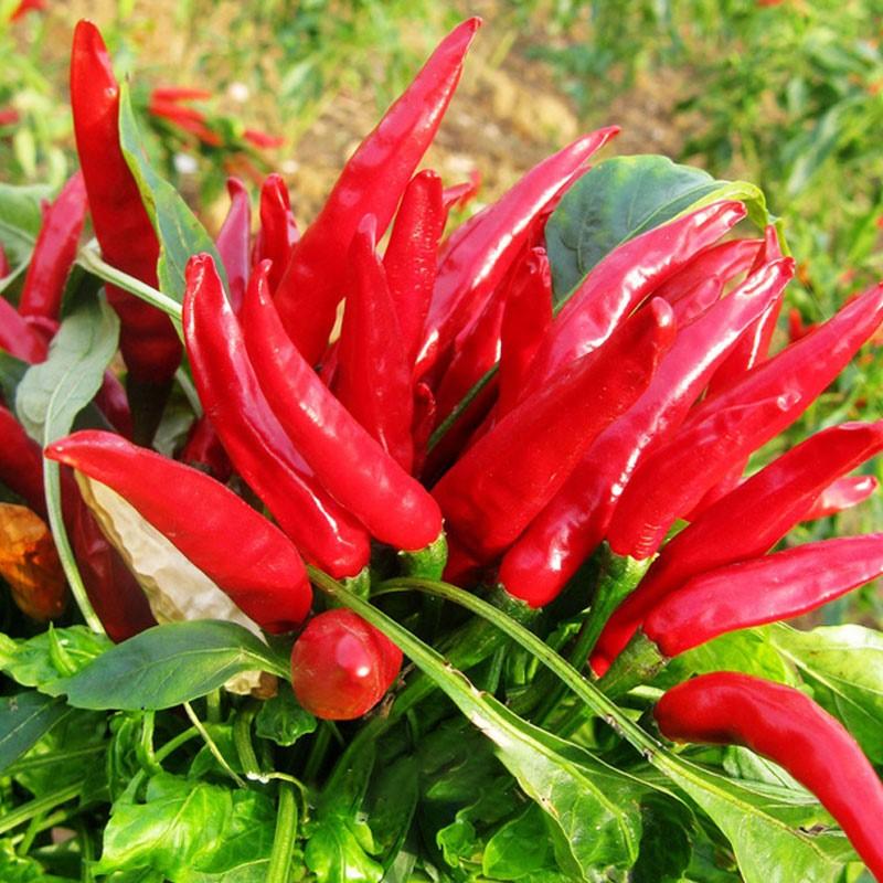 朝天椒种子种籽辣椒苗小米辣南方种四季食用盆栽蔬菜苗幼苗孑籽种