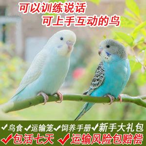 领3元券购买活物虎皮活手养宠物观赏鸟活体鹦鹉