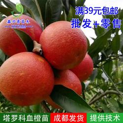 塔罗科血橙苗 嫁接血橙树嫁接塔罗科血橙柑橘嫁接苗塔罗科血橙8号