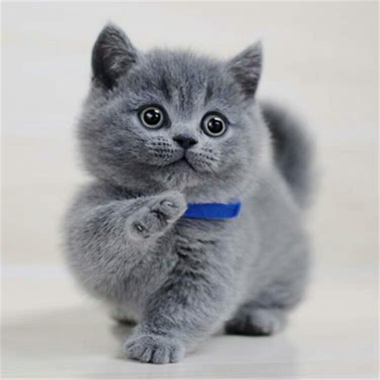 出售纯种蓝白蓝猫幼猫活体宠猫咪物猫咪英短美短英国短毛猫银渐猫图片