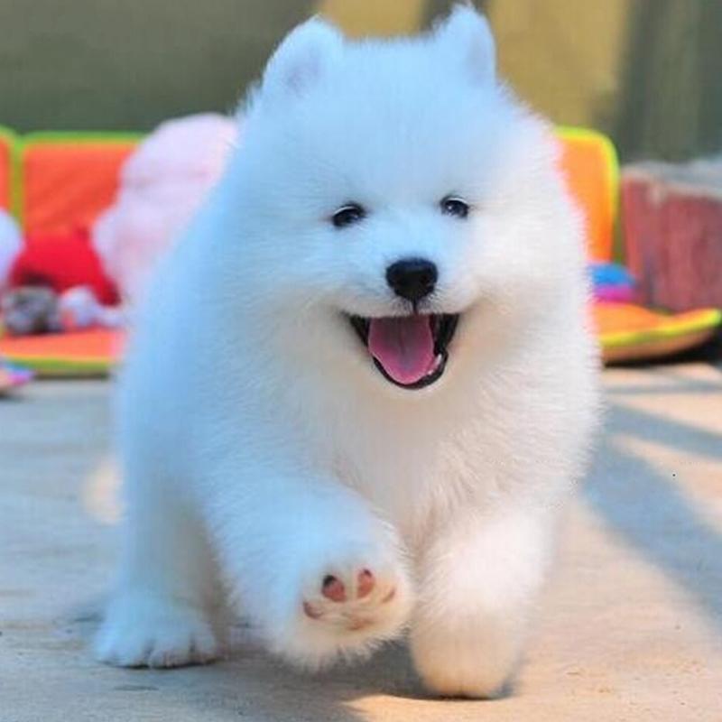 萨摩耶犬幼犬纯种萨摩耶犬活体萨摩耶犬幼犬萨摩耶犬银狐犬宠物狗