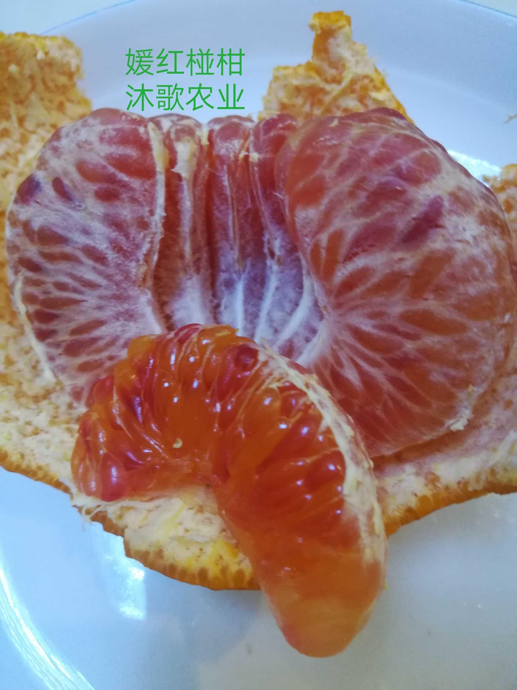 媛红椪柑苗 新品种柑橘苗 眉山黄美人甘平明日见爱砂米哈亚枝条