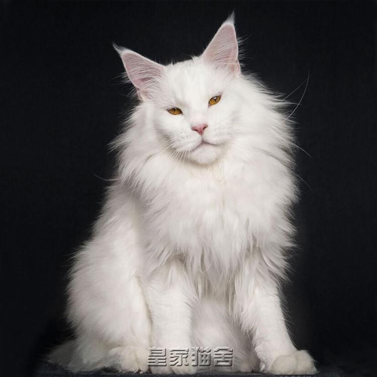 缅因猫纯种幼猫活体巨型猫咪活物宠物猫幼崽纯白色异瞳狮子猫大型图片