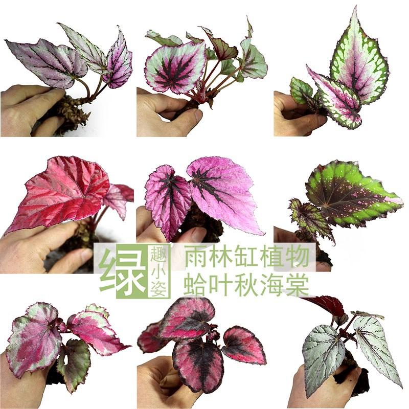 蛤叶观叶秋海棠 水陆雨林缸DIY造景彩叶植物室内耐阴观叶绿植盆栽