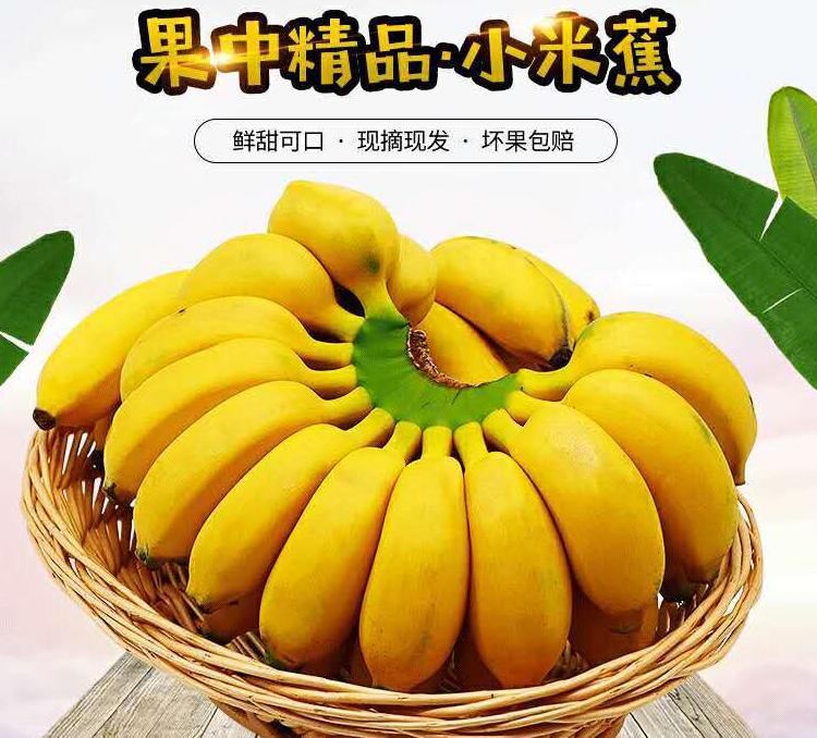 净果9斤广西小米蕉香蕉新鲜的当季水果整箱包邮小米焦非皇帝蕉