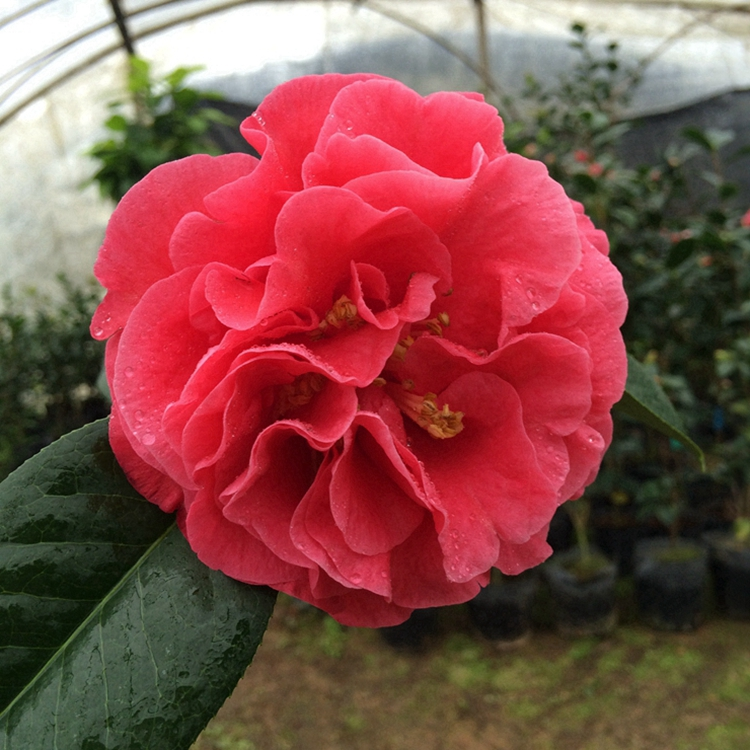Mr. parks Big Apple mountain camellia tree seedlings bright red big flower peony type potted plant with bracts in spring of Fujian Province