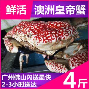 【鲜活皇帝蟹4斤】澳洲进口水产雪蟹