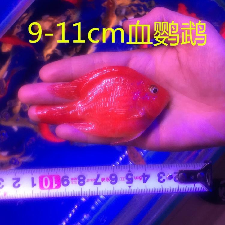 热带观赏鱼血鹦鹉鱼发财鱼元宝红财神金刚鹦鹉鱼苗活体风水鱼北京