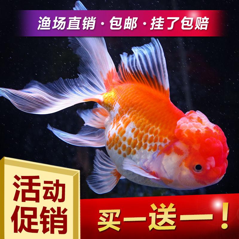 冷水观赏鱼狮子头金鱼活体好养耐活淡水大中小型鱼苗渔场直销包邮