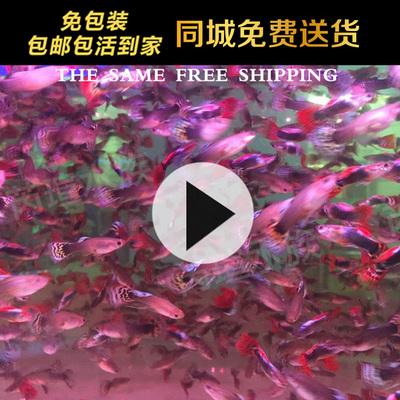 孔雀鱼活体 凤尾鱼天空冰蓝鱼苗红绿灯纯种淡水小型热带鱼观赏鱼