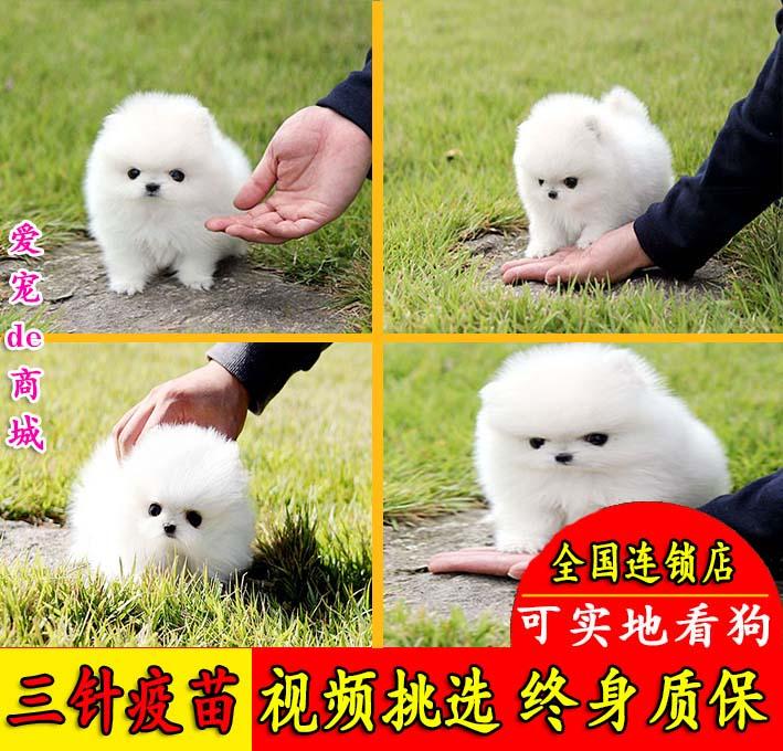 绍兴出售博美犬幼犬纯种小巧玲珑活泼粘人博美狗俊介犬宠物狗活体