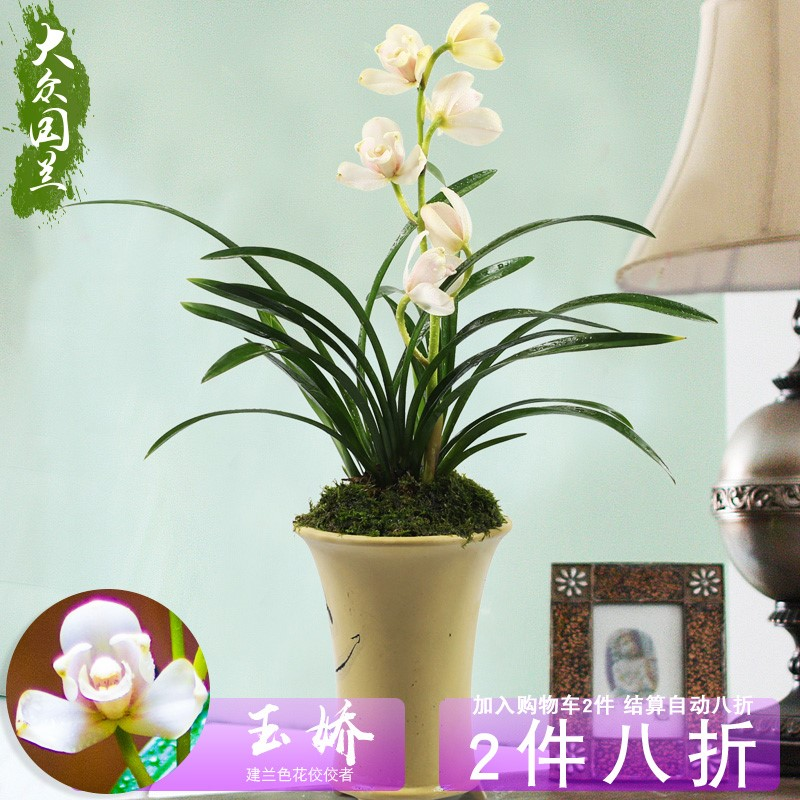 Jianlan Yujiao orchid potted plant rare orchid seedling national orchid four seasons indoor flower orchid seedling with bud