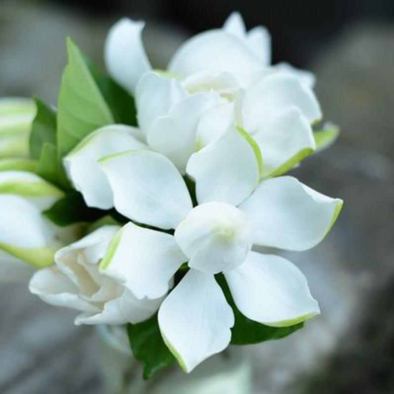 四季栀子花盆栽花苗带花苞牡丹大小叶浓香型花卉室内植物好养芳香图片