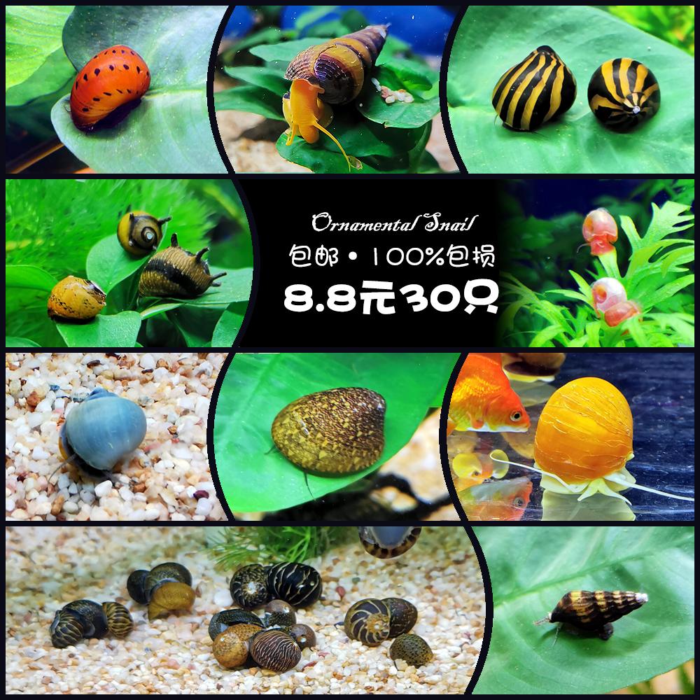 神秘螺观赏螺活体工具螺除藻螺苹果螺紫纹螺斑马螺蜗牛宠物螺套餐